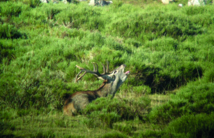 Un ciervo durante la Berrea